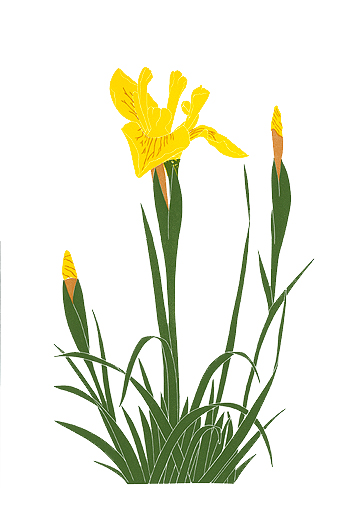 irisis_495_Yellow-Iris_lrg